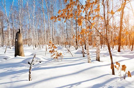 冬日暖阳雪地上的白桦林红叶图片