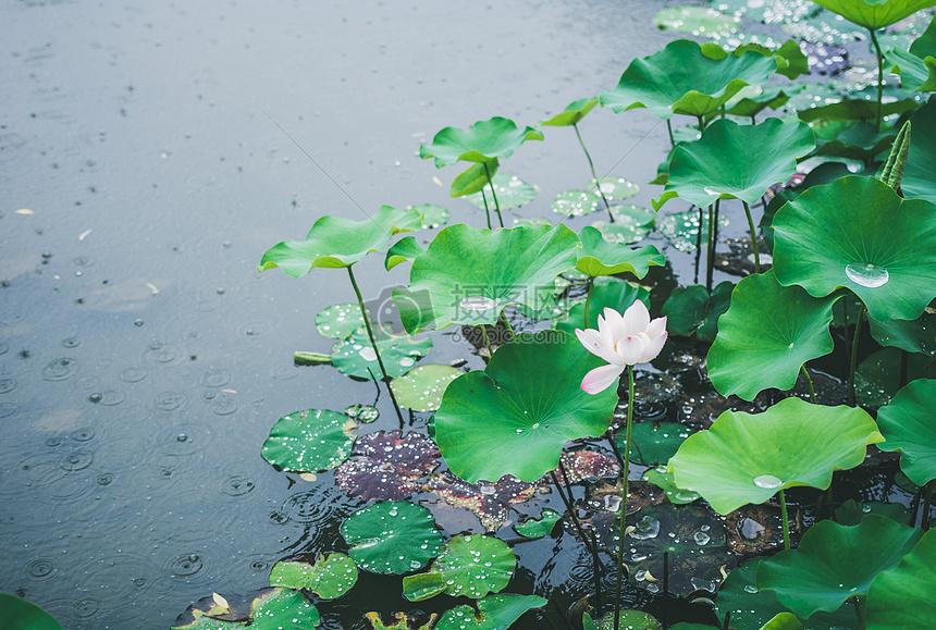 下雨天水上的荷花摄影图片免费下载_自然/风景图库