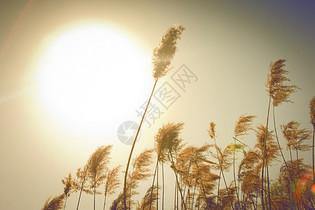 夕阳下芦苇飘荡图片