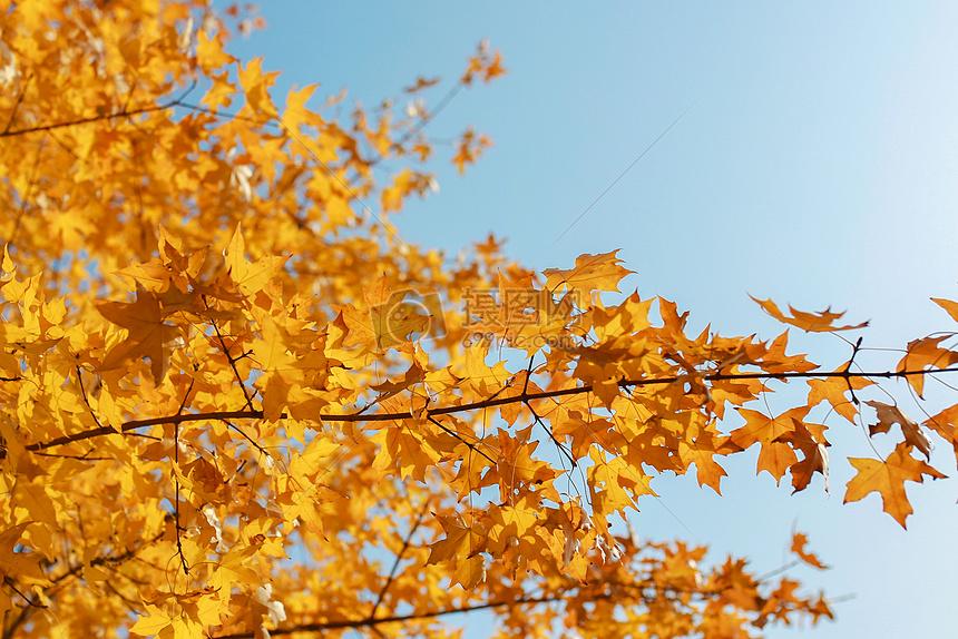 黄色枫叶_秋天枫叶高清图片下载-正版图片500539376-摄图网