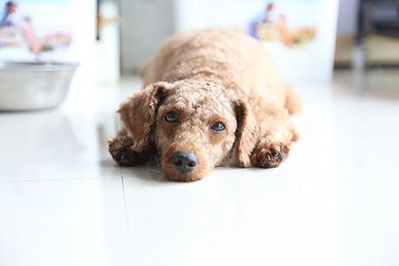 眼神无辜的泰迪犬狗狗图片