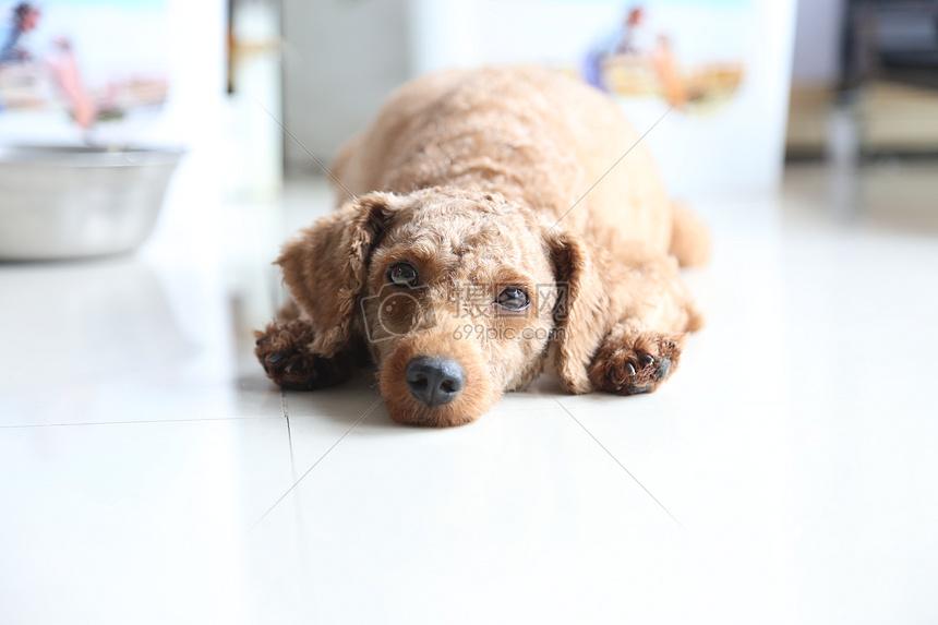 标签: 狗萌慵懒宠物可爱动物眼神无辜的泰迪犬狗狗图片眼神无辜的