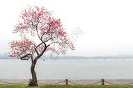 杭州西湖前的一棵树图片