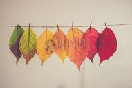 秋天的黄叶图片