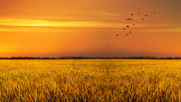 芒种时节金色的稻田图片