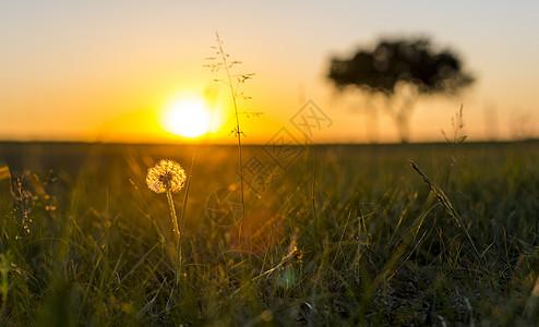 落日余晖中的蒲公英图片