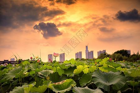 武汉沙湖荷花图片