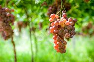 葡萄熟了图片