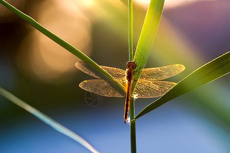 炫光下的红蜻蜓图片