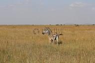 非洲大草原的斑马图片