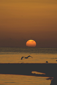 夕阳海滩上飞翔的海鸥图片