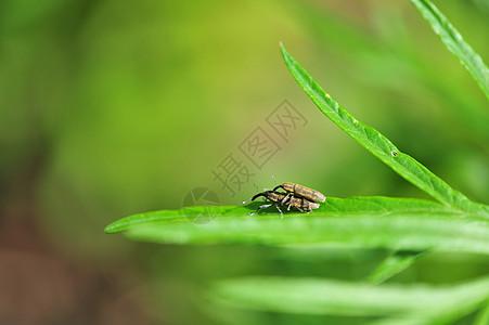 交配的昆虫图片