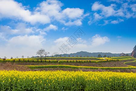 山地油菜花盛开在蓝天下图片