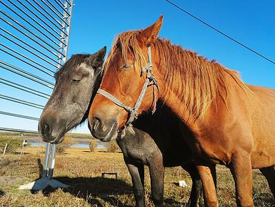 两匹马图片
