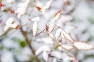 冬天树枝积雪图片