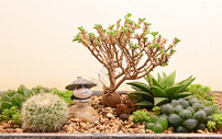多肉植物500574350图片