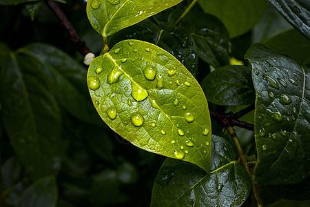 有水珠的绿叶图片