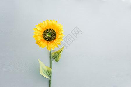 向日葵纯色背景素材图片