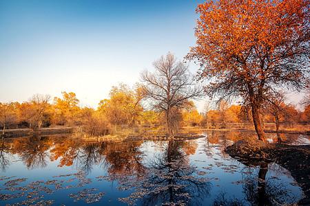 水边的胡杨林图片