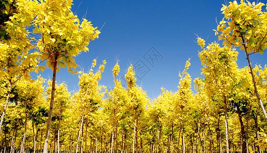 黄叶树林图片