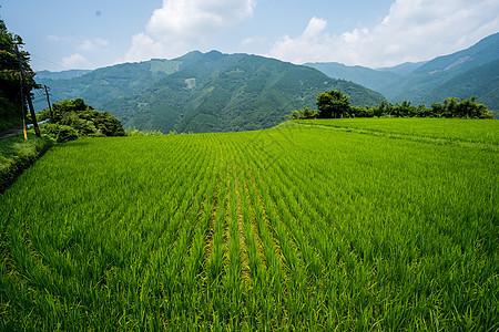 日本九州宫崎的稻田图片