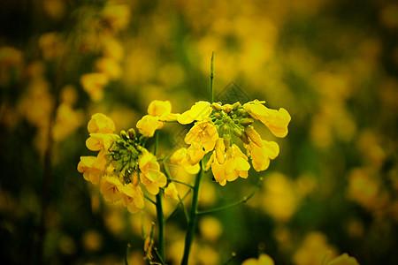 雨后油菜花写生图片