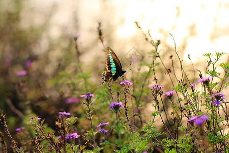 美丽蝴蝶在菊花上起舞图片