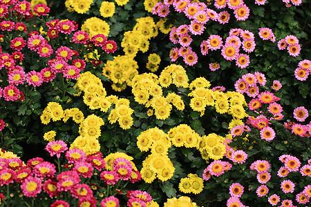 一群小美丽的菊花图片