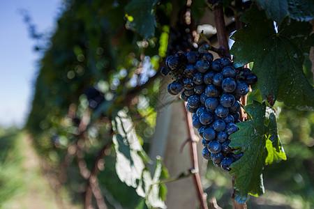 葡萄果园图片