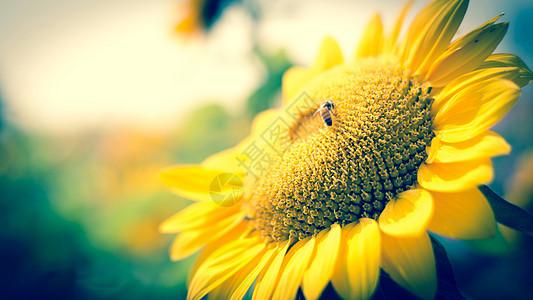 微笑中的向日葵图片