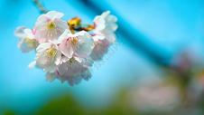 魔都静安雕塑公园樱花图片