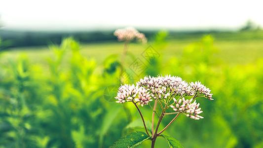 日本北海道美瑛花朵图片