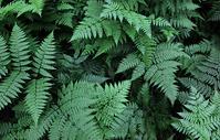 蕨类植物背景图片