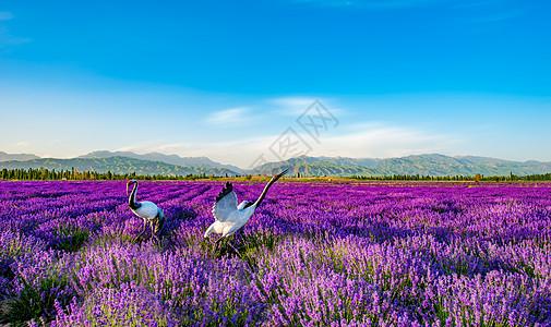 薰衣草花海里的仙鹤图片