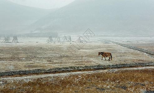 香格里拉风雪中的马图片