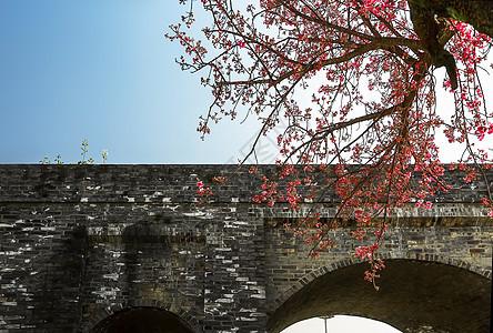 大理城墙边的樱花树图片