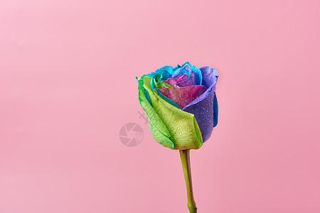 彩色玫瑰七彩玫瑰图片