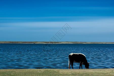 青海湖边的牛图片