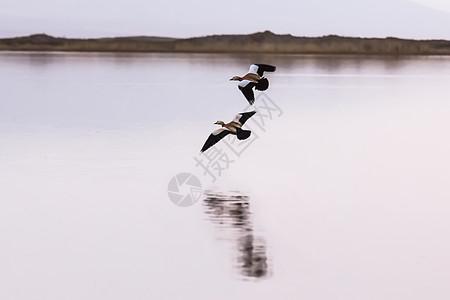 青海湖上的鸟儿图片