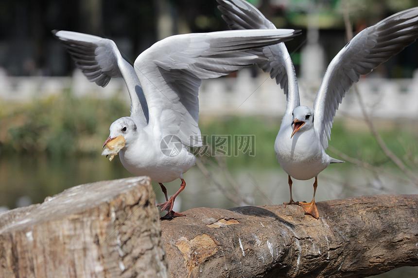海鸥摄影图片免费下载_图库大全_编号500595176-摄图网