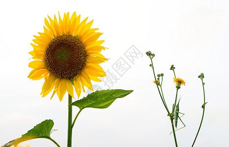 向日葵素材图片