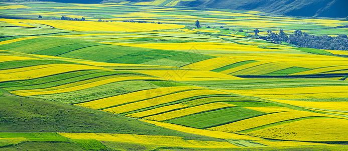 黄绿相间油菜花图片