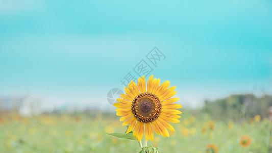 田野里的向日葵图片