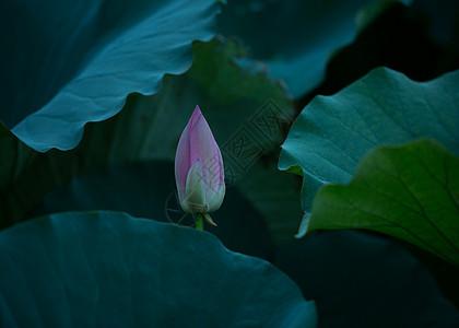 夏天的荷花池塘和雏菊图片
