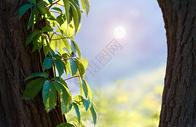 午后阳光照耀下的树叶图片