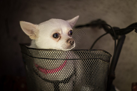 车篮里的狗狗图片