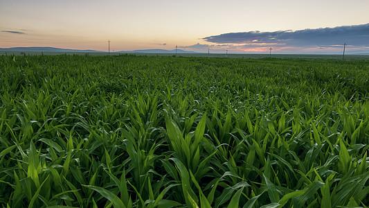朝阳照耀玉米地图片