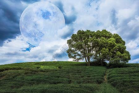 茶园的树图片