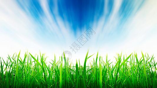 蓝天下茁壮成长的稻田图片