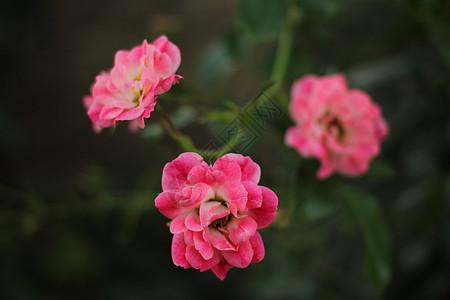 粉色月季图片